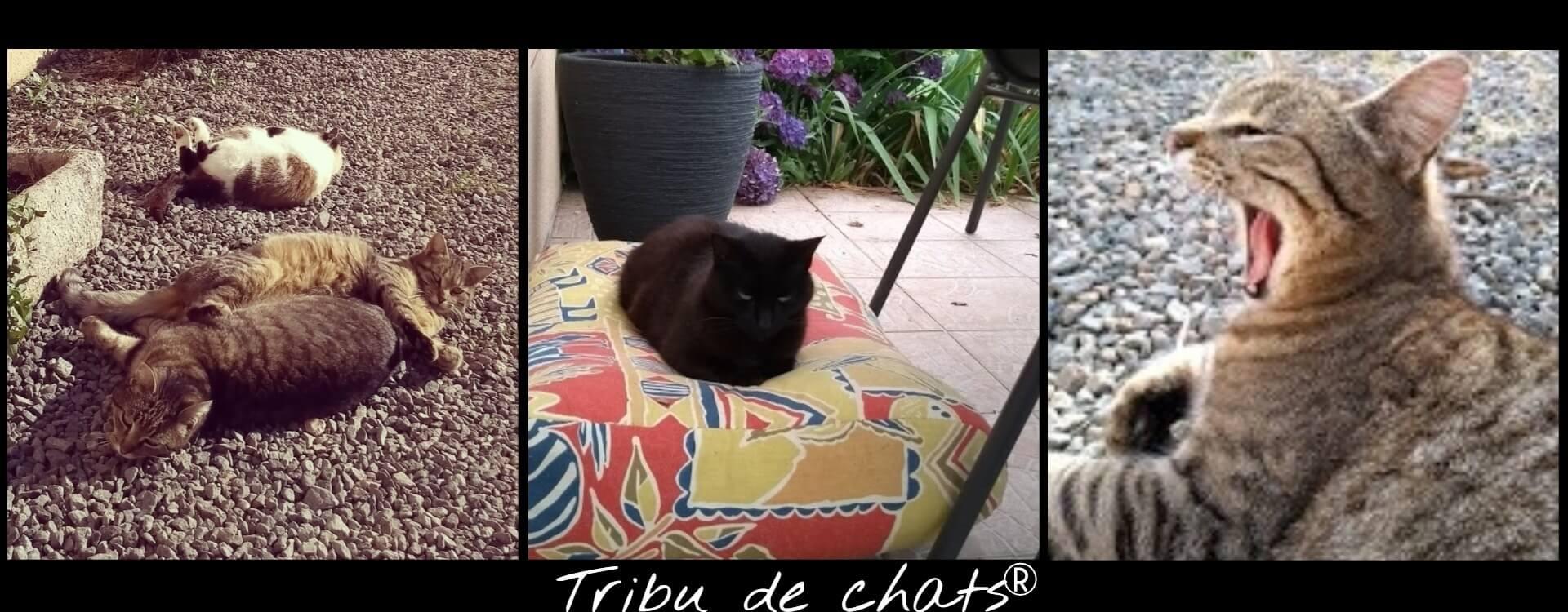 Les_chats_de_la_Tribu_qui_se_prélassent_au_soleil