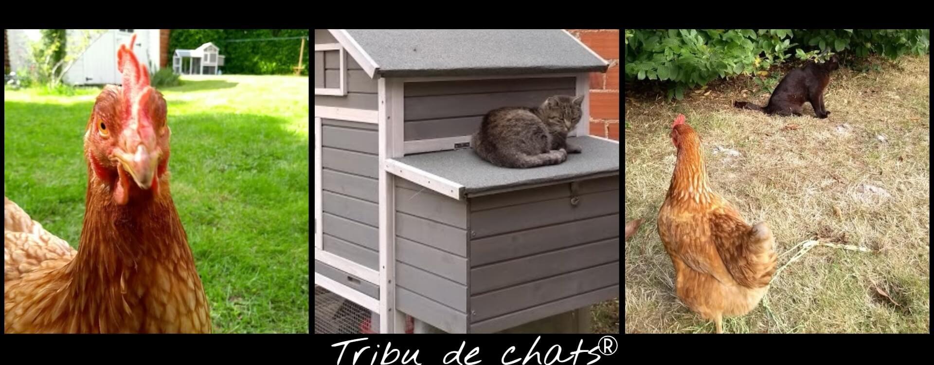 Les_poules_et_les_chats_chez_la_Tribu_de_chats