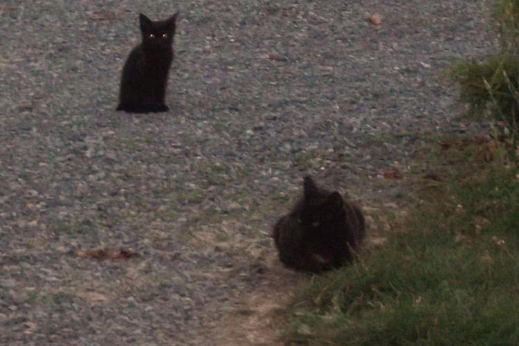 Maman/Maman de la Tribu de chats, son arrivée à la maison avec ses petits