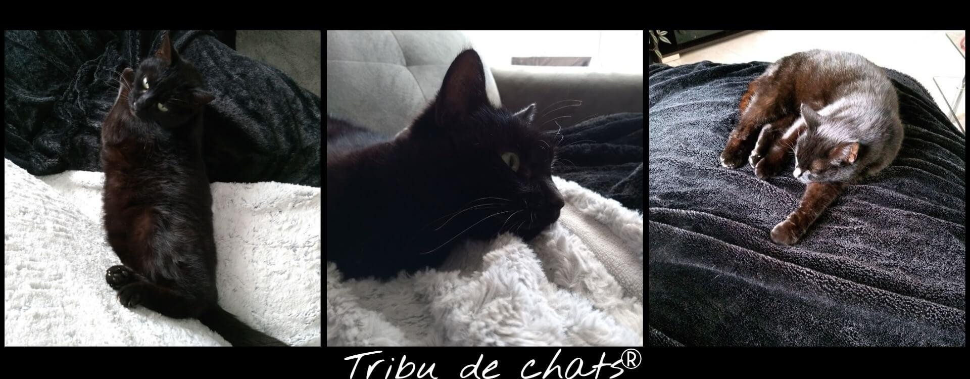 Panthère_de_la_Tribu_de_chats_sinstalle_et_devient_un_chat_de_maison