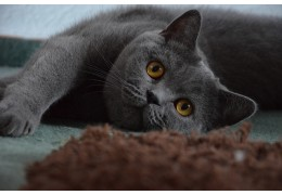 Le British shorthair, un véritable nounours